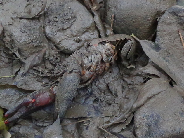Bohužiaľ najhoršie dopadli raky, ktorých na odrezanom úseku potoka uhynulo veľké množstvo. Stalo sa tak preto, že sú náročné na kyslík vo vode, ale najmä preto, že trvalo niekoľko týždňov, kým sa začala odčerpávať voda z hlbších miest potoka, kde mali tieto zvieratá skrýše.