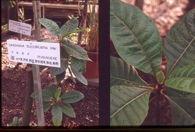cinchona succirubra - chinínovník